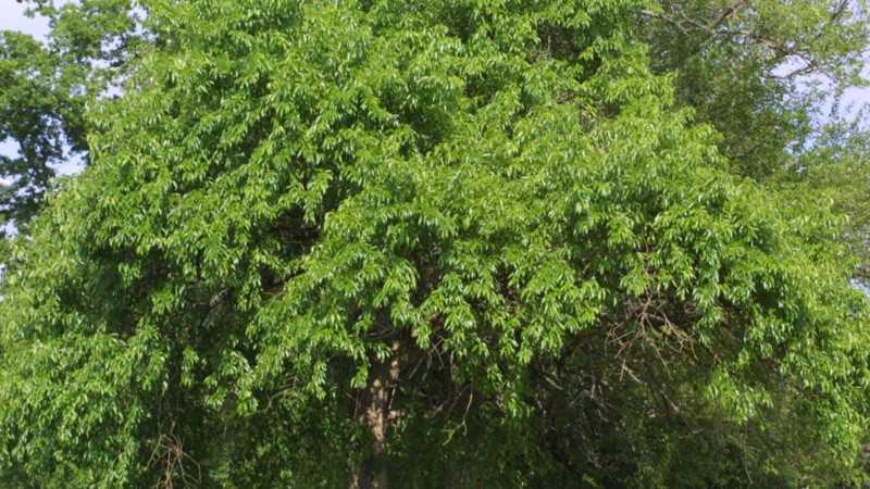 дерево маклюра адамово яблоко